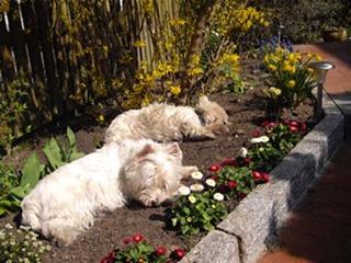 Frühjahrsmüdigkeit - Westhighland White Terrier, Hund, müde, weiß, Frühling, schlafen, Schreibanlass, Weißer Hochlandterrier, Westie, Hunderasse