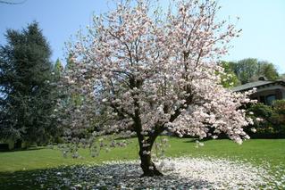 Magnolienbaum - Magnolie, Blüte, Ast, Zweig, Frühling, blühen, Ziergehölz, Zierpflanze