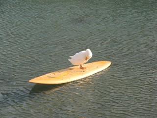 Ente #1 - Ente, Meer, Surfbrett, Wasservogel, schwimmen, Haustier, Schreibanlass