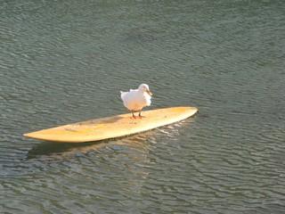 Ente #3 - Ente, Meer, Surfbrett, Wasservogel, schwimmen, Haustier