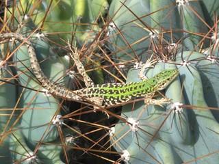 Eidechse - Eidechse, Kaktus, Dorn, Dornen, stechen, Schuppenkriechtier