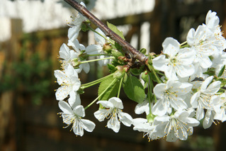 Kirschblüten - Obstbäume, Natur, Garten, Blüten, Kirsche, unterständig, Staubgefäß
