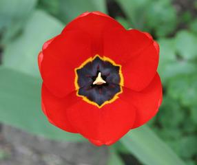 Tulpenblüte - Nahaufnahme - Blütenstempel, Tulpe, Fruchtblätter, Blüte, Fruchtknoten, Samenanlage, Griffel, Narbe Frühblüher