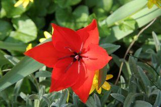 Tulpenblüte - Blütenstempel, Tulpe, Fruchtblätter, Blüte, Fruchtknoten, Samenanlage, Griffel, Narbe Frühblüher, Blume