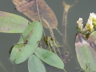 Frosch - Frosch, Grasfrosch, Tarnung, Amphibie, Teich, wechselwarme Tiere