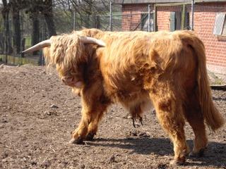 Galloway Rind #2 - Galloway, Rinderrasse, Schottland, Hochland, langes Fell, robust, Rind, Haustier, Nutztier, Wiederkäuer, Freilandhaltung
