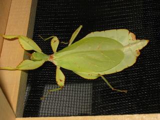 weibliches wandelndes Blatt - Phytomimese, Mimese, Pflanzennachahmung, wandelndes Blatt, Insekt, Gesenstschrecke, Pflanzenfresser, Tarnung, Tarnfarbe