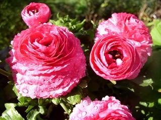 Ranunkel - Ranunkel, Hahnenfußgewächs, giftig, Gartenpflanze, rosa