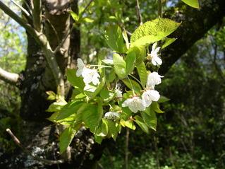 Kirschblüte - Obstbaum, Kirsche, Blütenstand, weiß