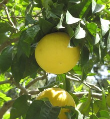 Grapefruit - Grapefruit, Zitrusfrucht, Paradiesapfel, Grapefruitbaum, Zitruspflanze, subtropisch, Rautengewächs