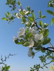 Birnbaum-Blüte - Blüte, Birne, Birnbaum, Frühling, Zweig