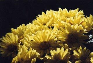 Astern - Astern, Blumen, Blumenstrauß, gelb, Herbst
