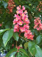 Blühende Kastanie - Blüten, blühen, Kastanie, Kerzen, Frühling, Gewöhnliche Rosskastanie, Aesculus hippocastanum L., Gemeine Rosskastanie, Weiße Rosskastanie, Blätter, Blatt, Blüte, Laubbaum