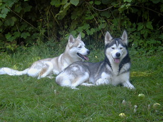 Siberian Husky - Siberian Husky, Husky, Schlittenhund, Hund, reinrassig, zwei