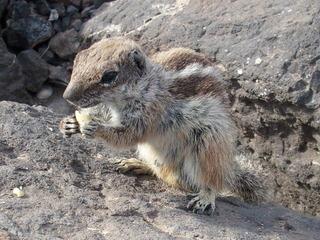 Streifenhörnchen #2 - Tiere, Nager, Fell, braun, grau, Säugetiere, klein, flink, Streifen, freilebend, Futter, zahm, zutraulich