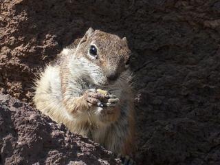 Streifenhörnchen #3 - Tiere, Nager, Fell, braun, grau, Säugetiere, klein, flink, Streifen, freilebend, Futter, zahm, zutraulich, Gesicht