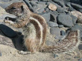 Streifenhörnchen #5 - Tiere, Nager, Fell, braun, grau, Säugetiere, klein, flink, Streifen, freilebend, Futter, zahm, zutraulich, Felsen, Schwanz, buschig, fressen