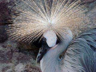 Kronenkranich # 2 - Kronenkranich, Vogel, Balz, Federkrone, Gefieder, prächtig, Kopfschmuck