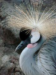 Kronenkranich # 3 - Kronenkranich, Vogel, Balz, Federkrone, Gefieder, prächtig, Kopfschmuck