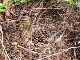 Tarn-Ente - Ente, Vogel, Brut, brüten, Nest, Eier, Tarnung, Gefieder, braun, Weibchen, Tarnfarbe
