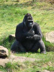 Gorilla-Mann - Gorilla, männlich, Primat, Affe, Menschenaffe, Trockennasenaffe, Pflanzenfresser, Afrika, Knöchelgang, Silberrücken, groß