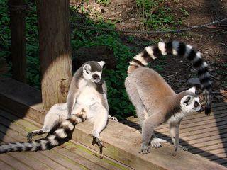 Katta-Paar - Katta, Primaten, Lemuren, Affe, Maki, Madagaskar, Allesfresser, Feuchtnasenaffe, Schwanz, gestreift