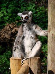 Katta in Pose - Katta, Primaten, Lemuren, Affe, Maki, Madagaskar, Allesfresser, Feuchtnasenaffe