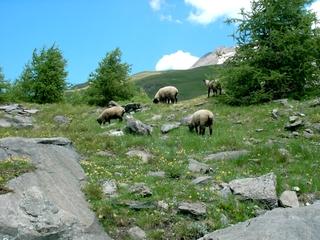 Schafe auf der Alm - Natur, Tiere, Schafe, Alm, Wiese, Felsen, Berge, Bäume, Steine, weiden, grasen, fressen