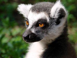 Katta-Portrait - Katta, Primaten, Lemuren, Affe, Maki, Madagaskar, Allesfresser, Feuchtnasenaffe