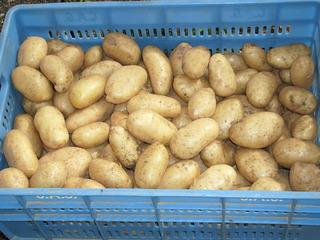 Kartoffeln #2 - Kartoffel, Speise, Knolle, Ernte, frisch, Schale, Stärke, hellbraun, eiförmig, groß, klein, Garten, Anbau, Kiste, Stiege, blau, Grundnahrungsmittel, Erdapfel, Speisekartoffel, Nahrungsmittel, Beilage