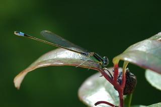 Libelle - Kleinlibelle, Große Pechlibelle, Eschnura elegans, Libelle, Insekt, Sommer, fliegen, Flügel, Hautflügel, Gliederfüßer, Flügelpaar, Tarnung, Artenschutz, gefährdete Art