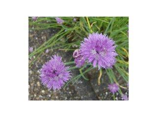 Blüten Schnittlauch - Schnittlauch, Schnittlauchblüten, Graslauch, Binsenlauch, Brislauch, Jakobszwiebel, Schnittling, Lauchgewächs, Würzkraut