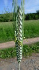 Gerste - Getreide, Gerste, Wintergerste, zweizeilig, Grannen, Süßgras, Hordeum vulgare distichon