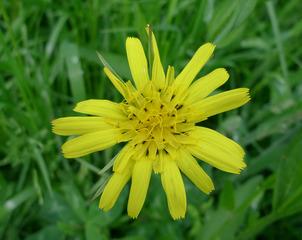 Wiesenbocksbart - Blüte, gelb, Wiesenblume, Korbblütler, Zweikeimblättrig, Tragopogon pratensis