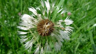 Wiesenbocksbart - Samen - Wiesenbocksbart, Blüte, gelb, Wiesenblume, Korbblütler, Zweikeimblättrig, Tragopogon pratensis