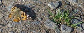 Distelfalter - Falter, Schmetterling, Wanderfalter, Vanessa cardui