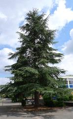 Atlaskiefer - Kiefer, Nadelgehölz, Nadelbaum, Baum, immergrün, Kieferngewächse, Pinaceae