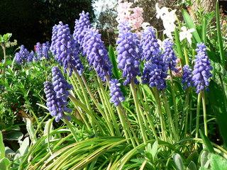 Traubenhyazinthen - Blumen, Frühblüher, Traubenhyazinthen, Frühling, blau