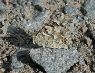 Distelfalter - Falter, Schmetterling, Wanderfalter, Vanessa cardui, Tarnfarbe, Tarnung