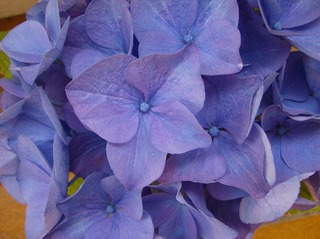 Hortensie - Hortensie, Gartenhortensie, Hortensiengewächs, Blüte, Blütenblätter, Blau