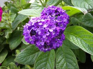 Vanilleblume - Vanilleblume, Heliotrop, Sonnenwende, Raublattgewächs, Boretschgewächs, lila