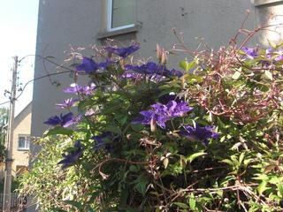 Clematis - Clematis, Waldrebe, Hahnenfußgewächs, Kletterpflanze, blühen, lila, violett