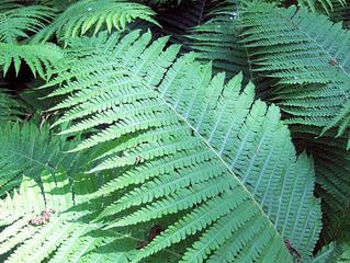 Farn, Farnwedel - Farn, Farnkraut, Garten, grün, Natur, Feuchtgebiet, Gefäßsporenpflanze, Wald, Sporen, Blätter