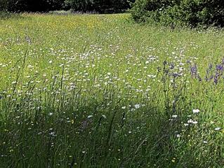 Naturbelassene Wiese #1 - Wiese, Blumen, Blüten, Gräser, Unkraut, grün, Frühling, blühen, Garten, Natur