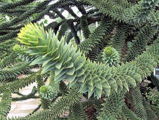 Araucaria, Schlangentanne #1 - Araucaria, Schlangentanne, Affenschwanzbaum, immergrün, Bäume, Baum, spiralig, grün, schuppenförmig, Südamerika