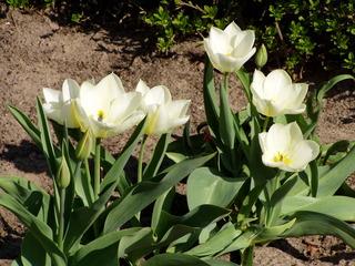 Tulpen - Frühling, Tulpen, Frühblüher, weiß, Frühjahr, Tulpenbeet, Zwiebelgewächs, Blume, Knospe