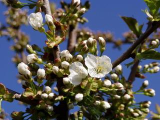 Kirschblüte - Kirsche, Frühling, Bäume, Blüte, blühen, Knospen, Blüten, Knospe, Obstbaumblüte, Frühjahr, Aufbruch, aufbrechen, erblühen, Obstbaum, Pflanze, Baum