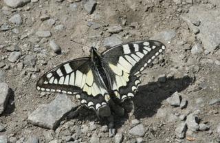 Schwalbenschwanz - Schmetterling, Tagfalter, Schwalbenschwanz, Falter, Flügel, symmetrisch, Symmetrie