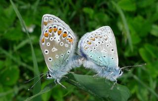 Wiesenknopf-Ameisenbläuling #1 - Falter, Bläuling, Ameisenbläuling, Schmetterling