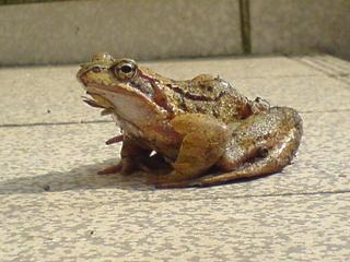 Teichfrosch - Teichfrosch, Frosch, Tiere, Gartenteich, Teich